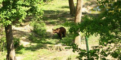 Puiul de urs care a ucis sase porci va fi impuscat. Vanatorii au pornit pe urmele animalului