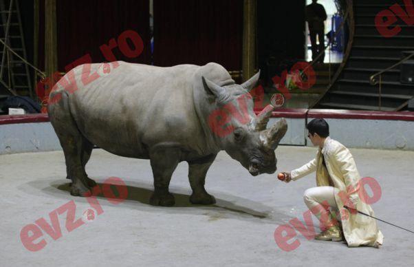 Rinocerul Alb de la Circul Globus si-a atact dresorul. Acesta l-a impacat, oferindu-i un mar