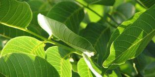 La ce sunt bune frunzele de nuc si cum poti obtine o tinctura cu efect benefic asupra organismului