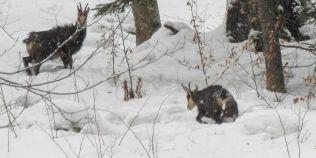 VIDEO Raiul caprelor negre in imagini de poveste. Cele mai prietenoase animale care cutreiera Tinutul Momarlanilor