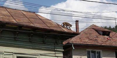 VIDEO Maimuta care a evadat de la Zoo Piatra Neamt a fost capturata. Politia a avut un rol decisiv in succesul operatiunii